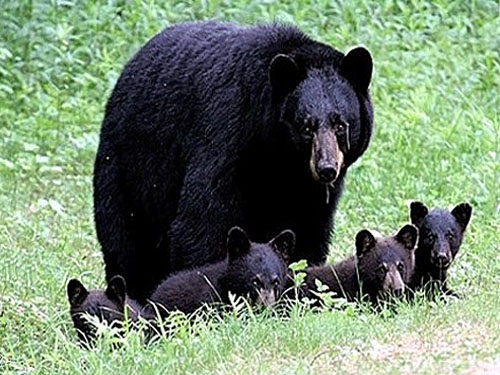 Black bear and cubs.