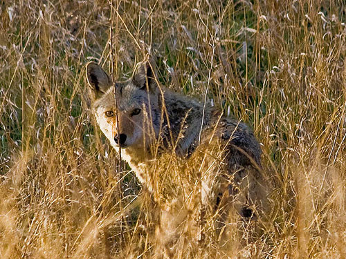 Coyote on the hunt.