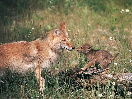 Mother Coyote and young pup.
