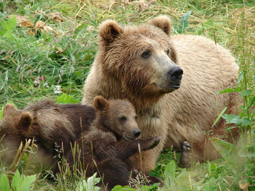 Mamma grizzly with cubs.